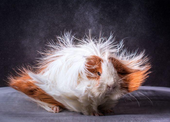 30 magnifiques cobayes à poils longs longs longs  2Tout2Rien