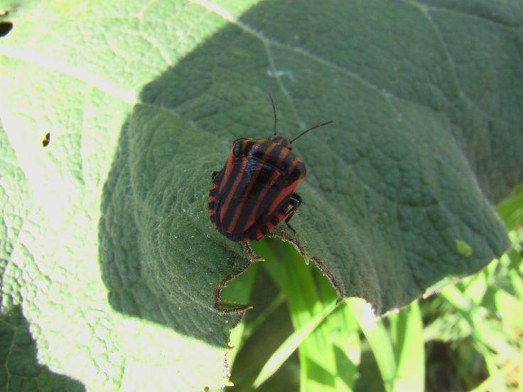 Щитник линейчатый, или графозома полосатая (Graphosoma lineatum). Оккупировал на нашей даче все зонтичные растения и поедает их семена.