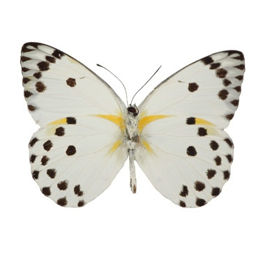 Belenois calyspo - Underside, Caper White Butterfly - I want my bathroom covered in framed butterflies in very subtle colors.