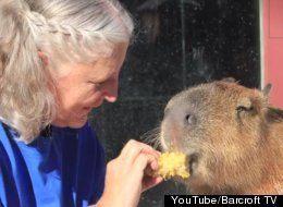 Gary The Capybara is the largest rodent in the world.  This one weighs 120 pounds and is 2 feet tall.  The owners named it Garibaldi Rous.  Rous is for Rodents Of Unusual Size from the Princess Bride.