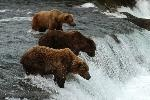 """Bears on Brooks Falls"" by Roy Wood  Katmai National Park & Preserve, #Alaska"