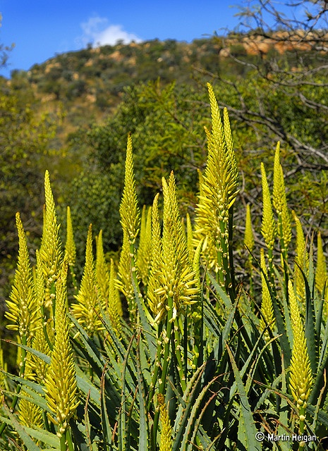 The pale yellow form of Aloe arborescens flowering in late Autumn (South Africa). Family: Asphodelaceae  Common names: Krantz Aloe (English) ; Kransaalwyn (Afrikaans). By Martin Heigan, via Flickr