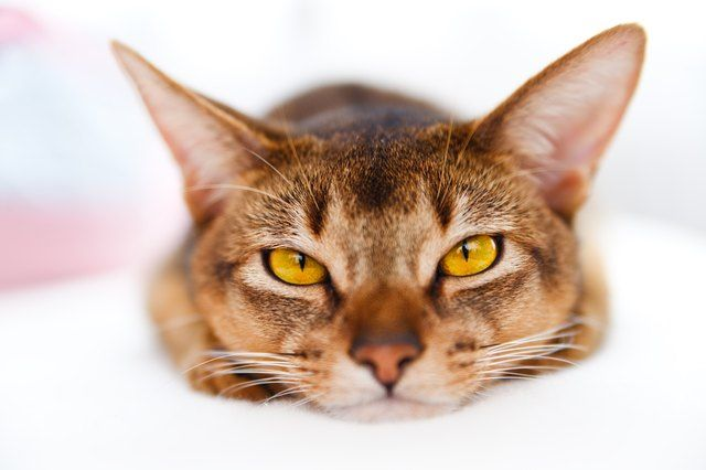 Best Way To Care For Your Cat S Amazing Ears Life Cats Cat Training Cat Care Cat Grooming