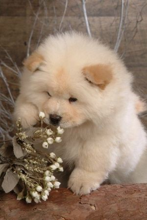 Chow Chow puppy - I had a Chow when I was a toddler.  He taught me to walk...I would pull up on him and he would move oh so slowly so I could follow.  When I was  5, someone in the neighborhood fed him ground glass and killed him.  We never found out who did this to this sweet natured doggie.