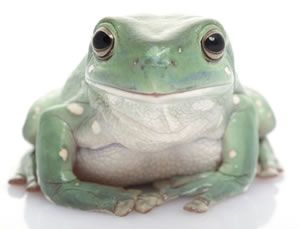 Whites Tree Frog  Size: about 4 inches  Expected Life Span: up to 21 years  Lifestyle: Arboreal (lives in trees)  Level of Care: Hardy, Good for beginners