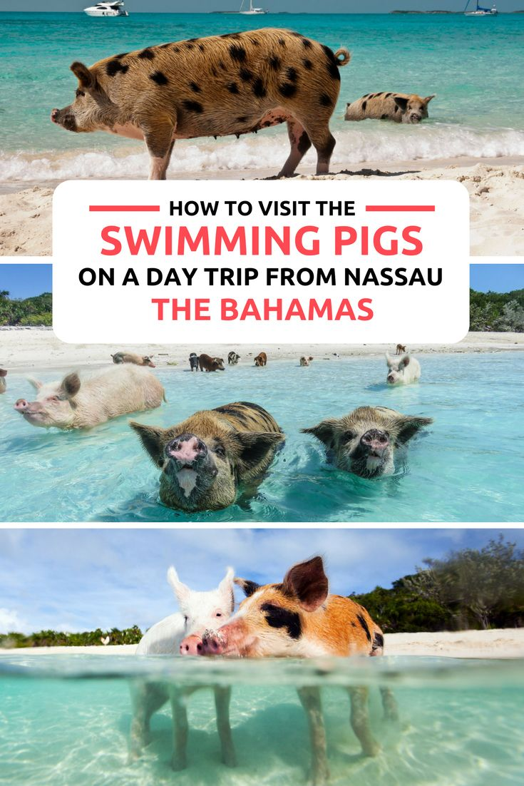 How To Visit The Bahamas Swimming Pigs From Nassau