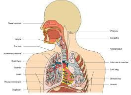 Respiratory System, Respiratory System Disorders, What of the Respiratory System, Respiratory System Disease | Positive Healthcare