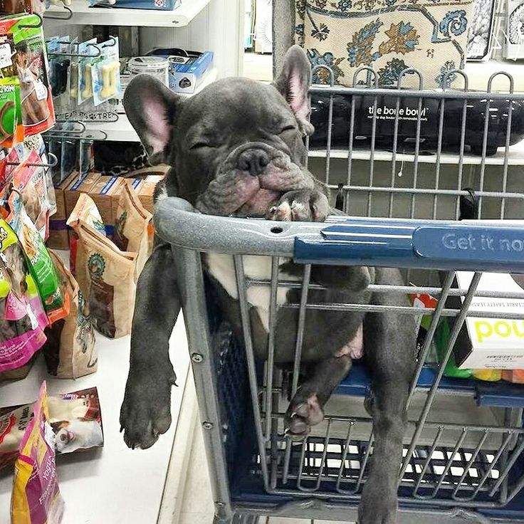 """SHOPPING SUCKS"", Henry, the French Bulldog Puppy,  ➡️ photo by @henry_the_blue_frenchie"