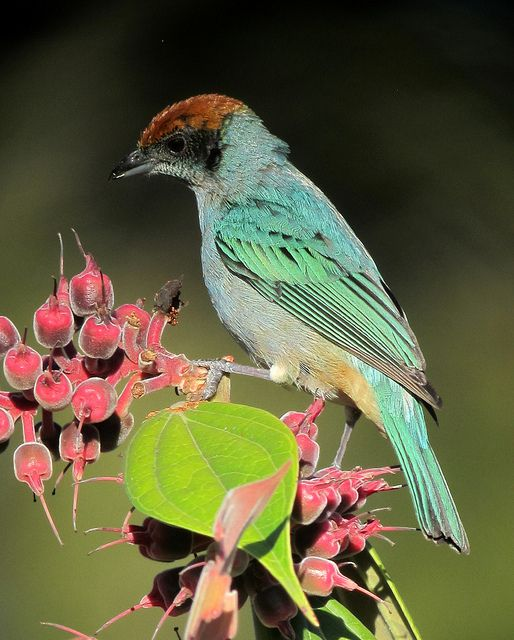 The Scrub Tanager (Tangara vitriolina) is a species of bird in the Thraupidae family. It is found in Colombia and Ecuador.