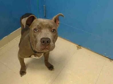 SAFE 9/12/13 Brooklyn  CIROC A0977778 Male gray/white pit mix 8mos Ciroc was surrendered for financial allergies & landlord Transferred to Brooklyn b/c his fractured rt hind leg that never healed b/c it wasn't attended to NOW this fabulous puppy is on the destroy list b/c he sneezed Ciroc desperately needs help tonite to find that 1 person who thinks he is worth saving He needs ALOT of ppl fighting for him. Please fight for this little puppy. He's done everything right Save his life