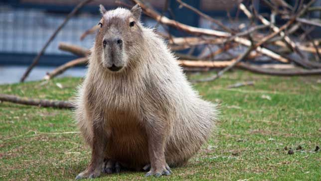 Meet the world s largest rodent. He s a gifted swimmer and serves as an excellent  living chair.