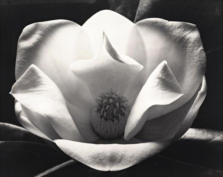 max dupain // magnolia at night, 1982