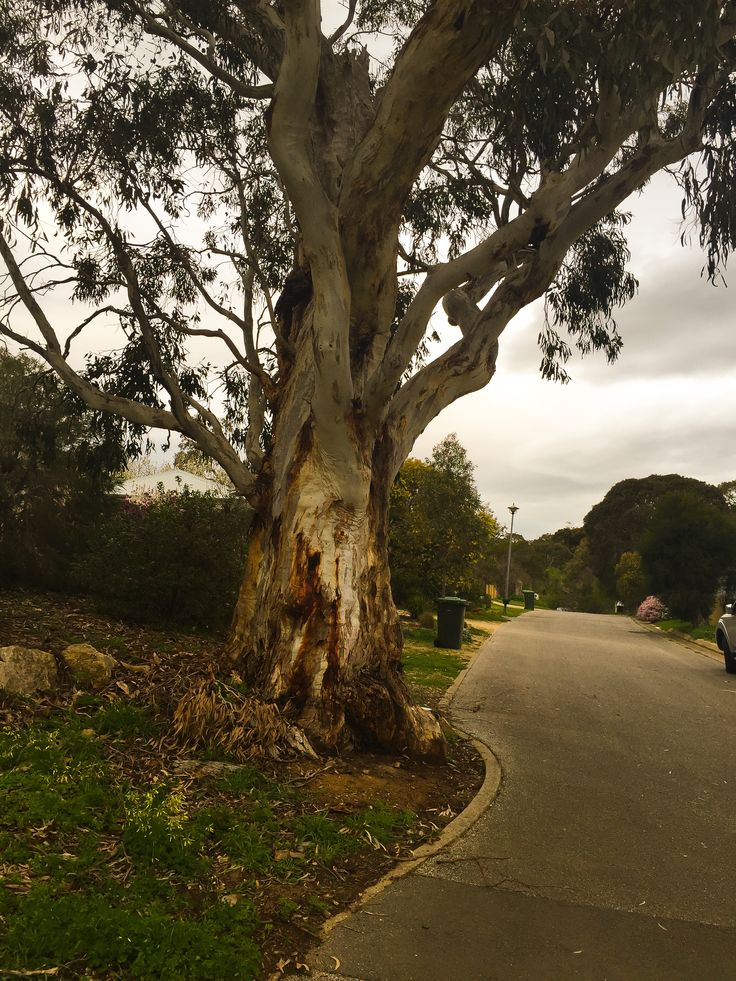 Trees have right of way in Willunga. Small compensations have big payoffs for lifestyle and health.