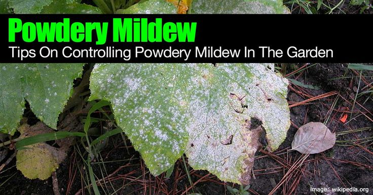 Powdery mildew - perhaps the most common and destructive mildew in greenhouses during winter and spring months. How to get rid of it [LEARN MORE]