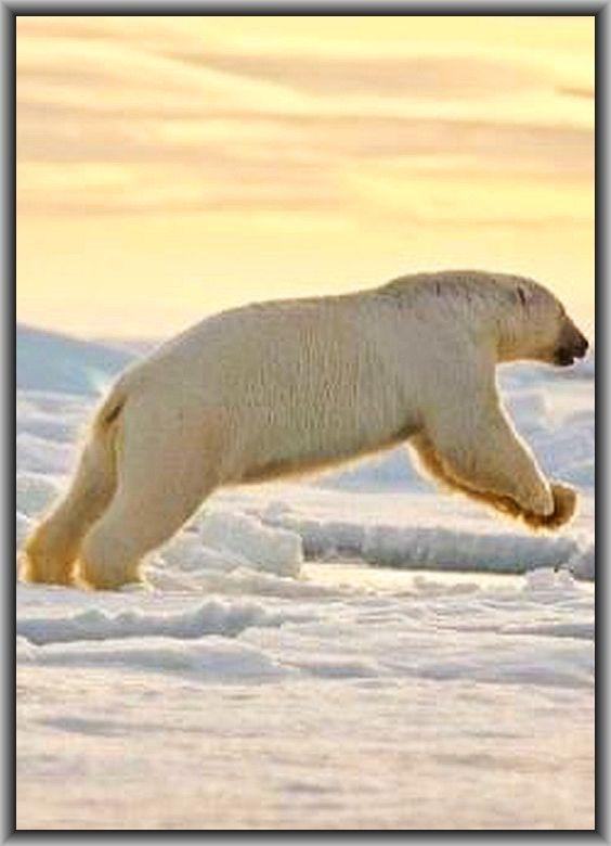 AMAZING POLAR BEAR SHOT at SUNSET  #winter snow ice alaska #www.my.tvspielfilm.de