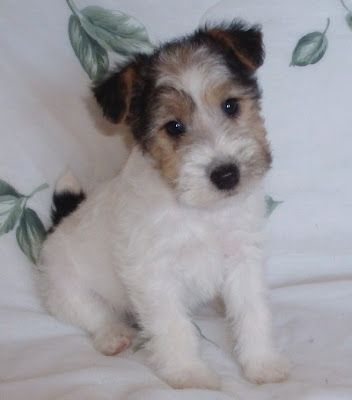 Wire Fox Terrier Puppy                                                                                                                                                     More