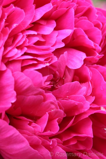 Passionate pink Peony