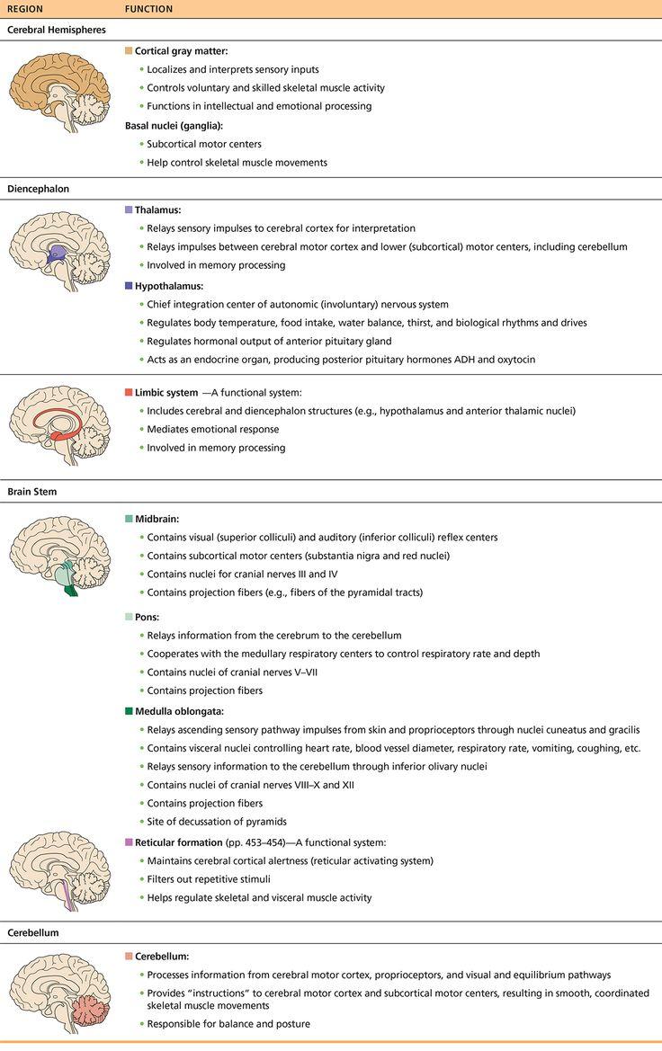 15 best Brain images on Pinterest | The brain, Central nervous ...