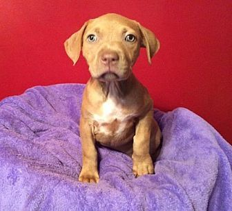 Pit Bull Terrier Mix Puppy for adoption in Acworth, Georgia - Virginia