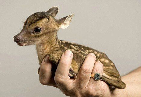 biology-online:Weighing around one kilogram (2.2 pounds) at birth the young Chinese water deer is able to stand after just an hour, and spends most of the first few weeks hiding in vegetation.