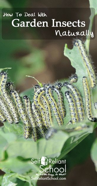 How to deal with some common garden insects using natural methods instead of harsh chemicals. #beselfreliant