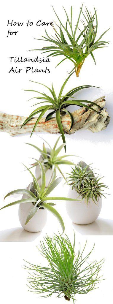 best 25 air plants care ideas on pinterest air plants airplant terrarium and hanging air plants. Black Bedroom Furniture Sets. Home Design Ideas