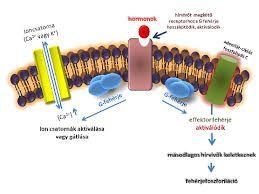 """Képtalálat a következőre: """"sejt permeábilitása"""""""