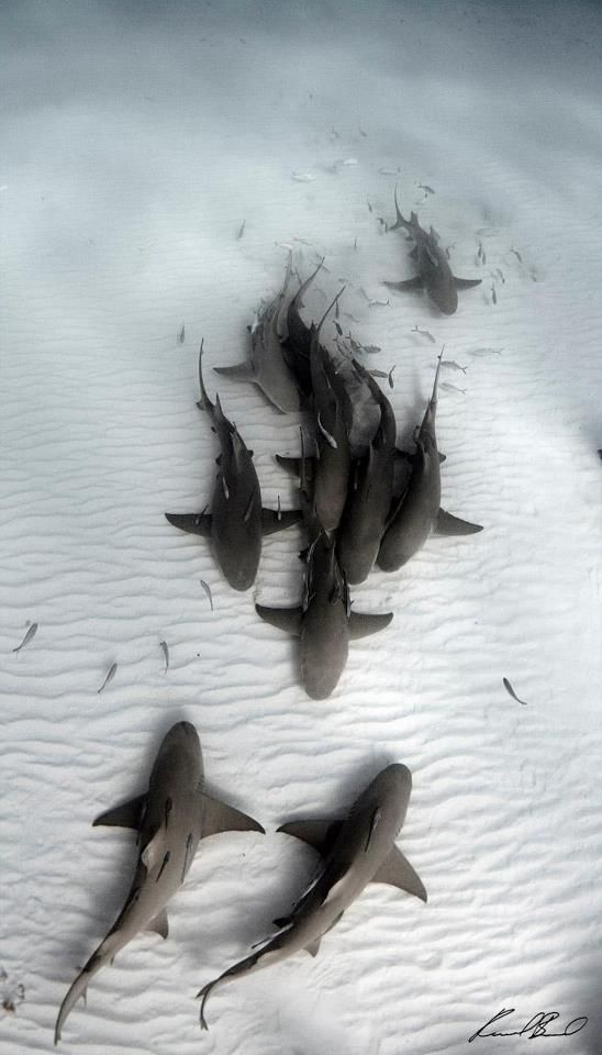 An aggregation of sharks. Love the contrast between their dark grey bodies and the rippled white sand. Just gorgeous!                                                                                                                                                     Más
