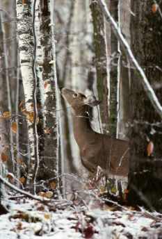 What do whitetail deer eat?  Whtietail Doe Browsing On Leaves In The Woods
