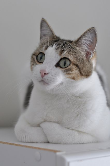 Pretty kitty- I want this cat!!