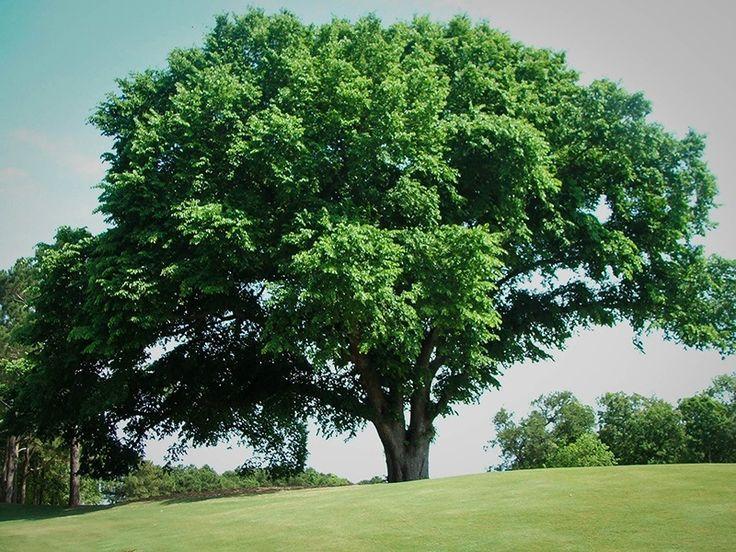 American Elm Tree