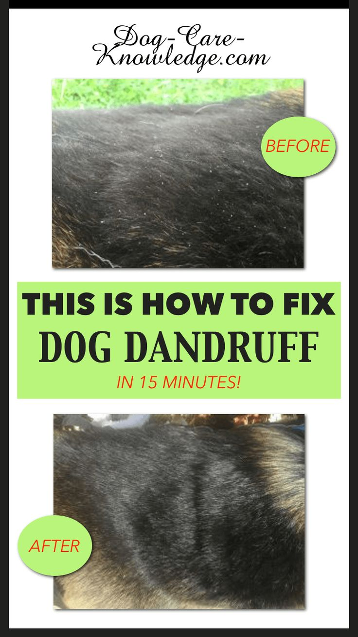 How to get rid of dog dandruff using this simple remedy that uses a natural anti-dandruff shampoo for dogs.  DIY using the 6 steps to a cure. #dogs #dog-care-knowledge.com