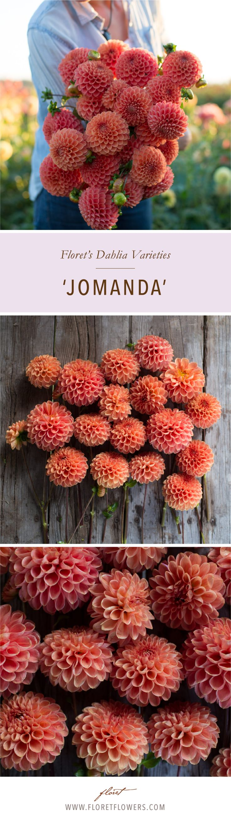 'Jomanda' is a beautiful dahlia in a rich, rusty orange with contrasting dark stems. Ball-shaped, 4 inch blooms are both beautiful and long-lasting, making them a favorite with our market customers. Dahlia tubers available from Floret.  #growfloret