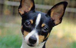 Toy Fox Terrier sooooooooo intelligent Can be barkers, but if the human remains 100% pack leader, active little dogs that need a daily walk, wiegh 3.5 - 7 lbs , live 13 - 15 yrs