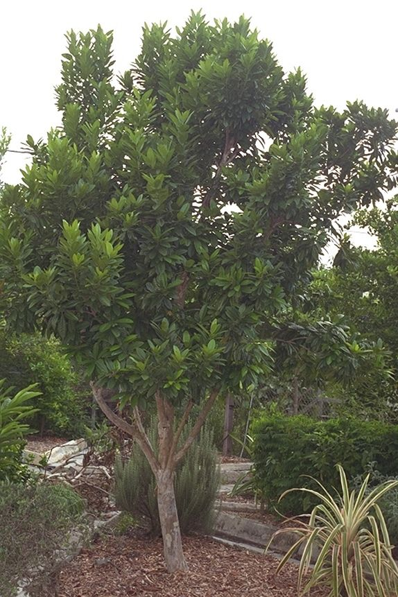 Clove Tree This Site Has Several Plants Listed Including