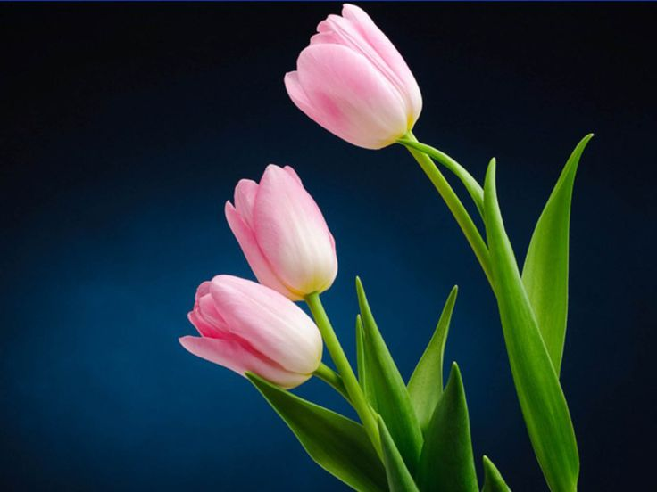 pictures of tulips flowers | Pink Tulip Flower Pictures