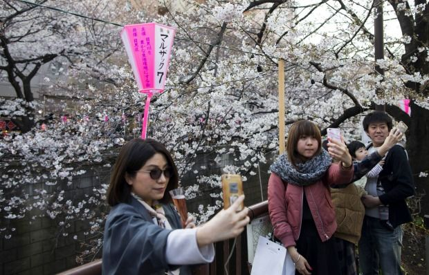 People pose for selfie photographs in front of cherry trees in bloom in Tokyo, Japan. Japan's cherry blossom season is reaching its climax this week. The season officially kicked off o...