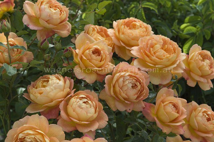 Lady of Shalott.  David Austin roses