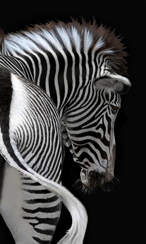 Zebra stripes by Joachim G. Pinkawa