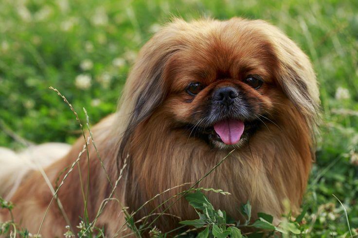 ¿ Sabías que el origen de los perros Pequinés proviene de la Dinastía China Manchú ?  Con el tiempo fue una raza venerada y considerada exclusiva de la corte imperial.  Un dato curioso: los emperadores metían a sus perros pequineses dentro de las mangas de sus atuendos, eran muy pequeños y cabían perfecto.