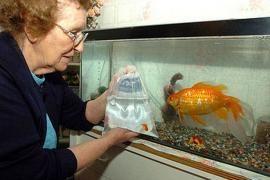 Carassius auratus adulto in acquario, ha 15 anni e misura 40 cm di lunghezza