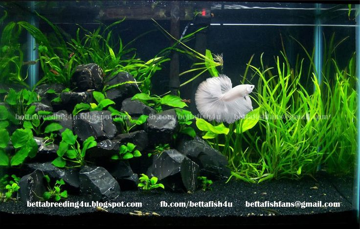 3 gallon, live plants, rocks, nice betta tank. Your betta will display beautiful…