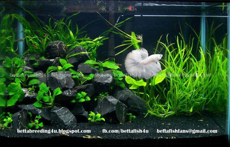 3 gallon, live plants, rocks, nice betta tank. Your betta will display beautiful…