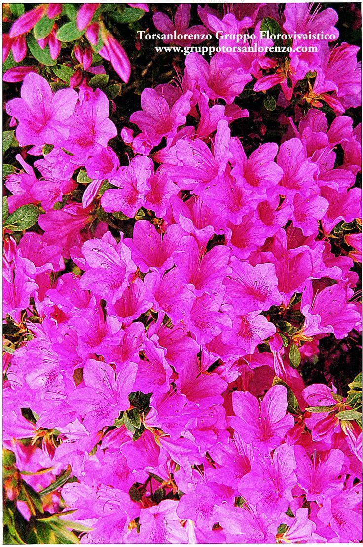 #Flowers #Azalea #nature #Pink #October
