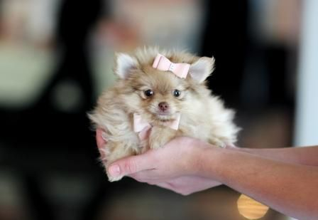 <3<3<3 Paisley the Pocketbook Pomeranian FOR SALE! <3<3<3 Call Now To Find The Puppy Of Your Dreams! 954-353-7864 To See All My Gorgeous TINY Babies, Visit www.TeacupPuppiesStore.com #pomeranian #pom #boo #boolookalike #boothepomeranian #toy #teacup #micro #pocketbook #teacuppuppies #teacuppuppiesstore #tiny #teacuppuppiesforsale #teacuppomeranian #teacuppom #small #little #florida #miami #fortlauderdale #westpalmbeach #southflorida #miamibeach #cute #adorable #puppy #puppiesforsale…