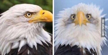 I finally understand why American Bald Eagles are photographed from the side