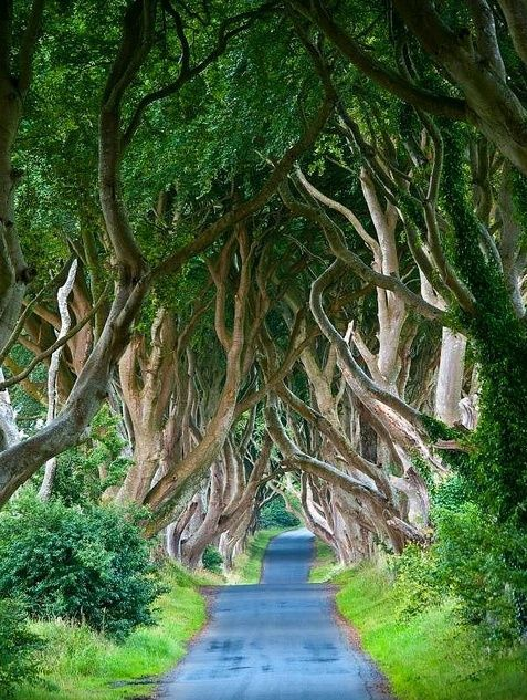 When I think of visiting a place, I tend to think of the beach, or the mountains, out of habit. But this is something worth visiting, and it's right in the woods. These are the Dark Hedges in Northern Ireland.