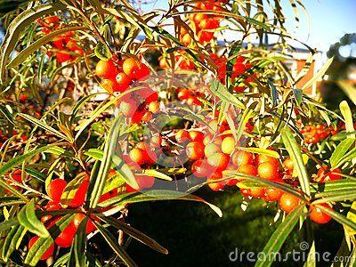 Sea buckthorn in autumn