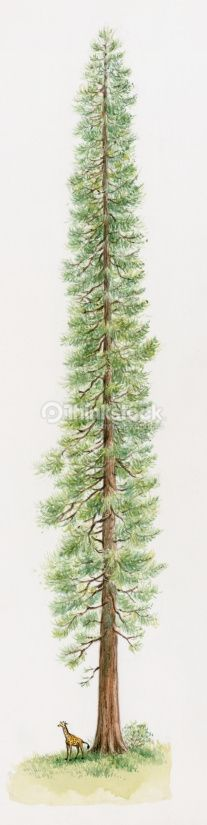 Stock Illustration : Illustration of Coast Redwood or California Redwood (Sequoia sempervirens), one of the tallest trees in the world with animal standing below