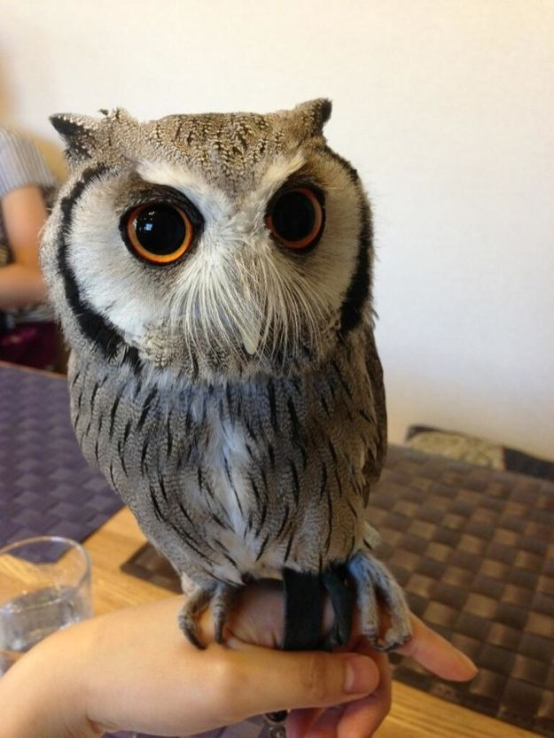 Owl Cafes Exist In Japan, Which Is Yet Another Reason To Move There Immediately